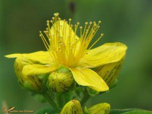Kantig hertshooi s.s. - Hypericum maculatum subsp. obtusiusculum