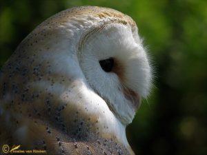 Kerkuil – Tyto alba