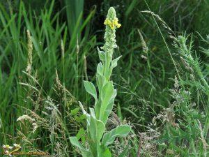 Koningskaars - Verbascum thapsus