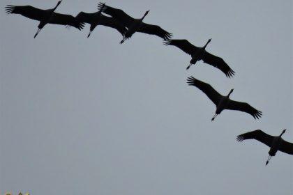 Kraanvogel – Grus grus