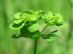 Kroontjeskruid - Euphorbia helioscopia