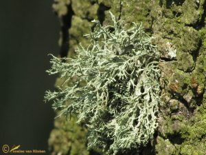 Melig Takmos - Ramalina farinacea