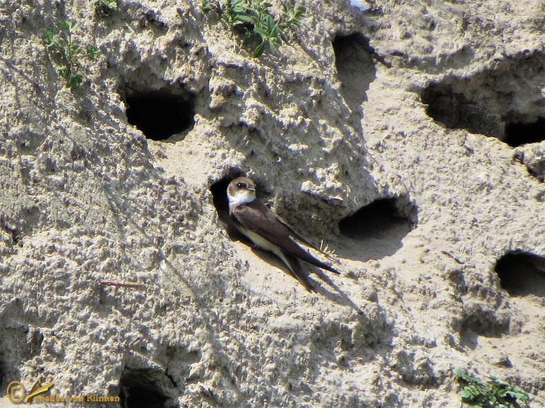 Oeverzwaluw - Riparia riparia