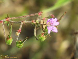 Ooievaarsbek alle soorten – Geranium spec.
