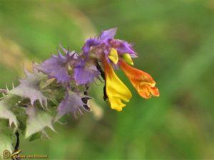 Paarse hengel – Melampyrum nemorosum