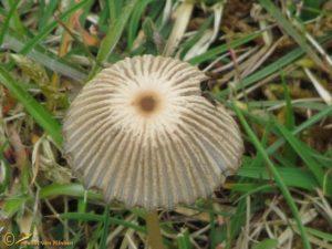 Plooirokje - Coprinus plicatilis