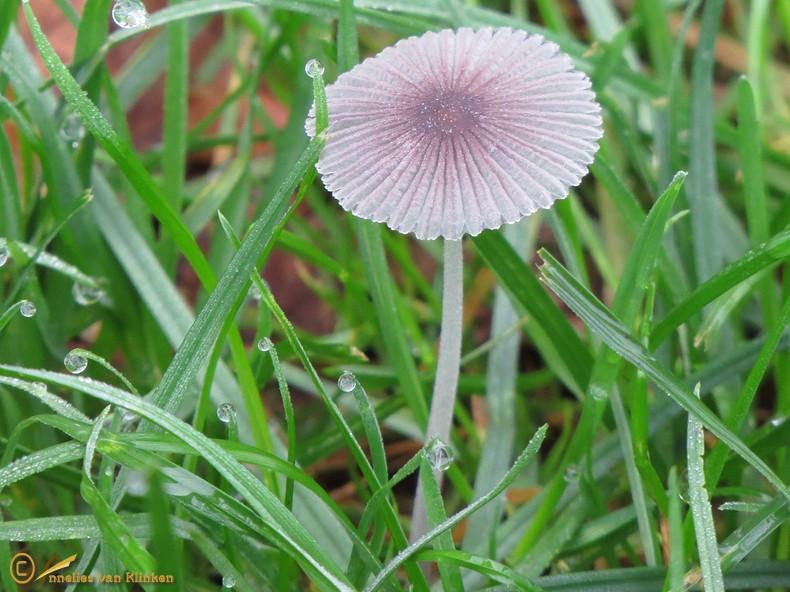 Plooirokje (s.l.) – Coprinus plicatilis sl, incl. galericuliformis, hercules