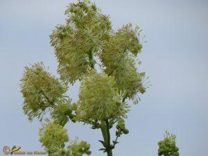 Poelruit - Thalictrum flavum