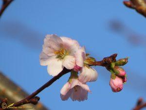 Prunus spec.