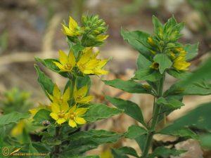 Puntwederik - Lysimachia punctata