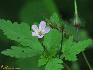 Robertskruid – Geranium robertianum