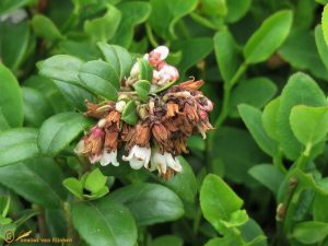 Rode bosbes - Vaccinium vitis-idaea