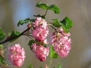 Rode ribes - Ribes sanguineum