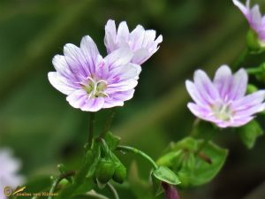 Roze winterpostelein - Claytonia sibirica