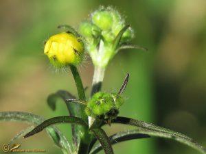 Scherpe boterbloem – Ranunculus acris