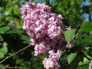 Sering - Syringa vulgaris