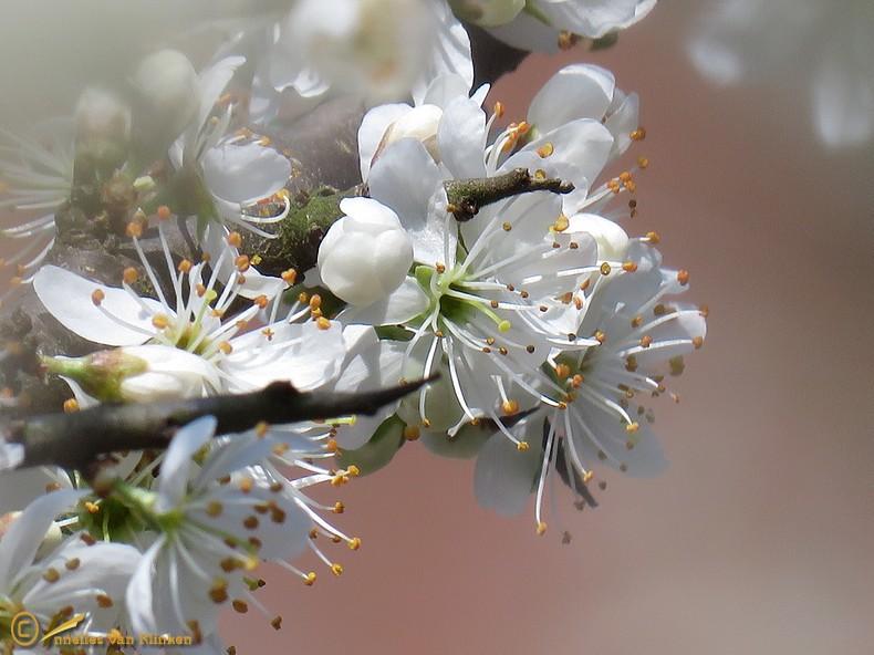 Sleedoorn – Prunus spinosa