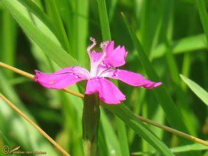 Steenanjer - Dianthus deltoides