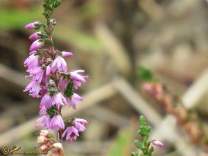 Struikhei - Calluna vulgaris