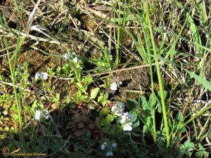 Tijmereprijs - Veronica serpyllifolia
