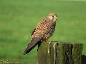 Torenvalk – Falco tinnunculus ♀️