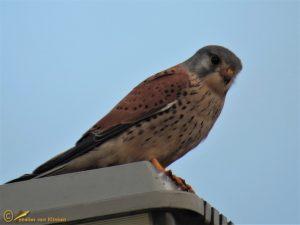 Torenvalk – Falco tinnunculus ♂️