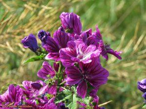 Tuinkaasjeskruid - Malva sylvestris (cultivar)