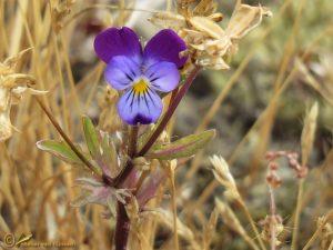 Tuinviooltje - Viola tricolor 'Hortensis'