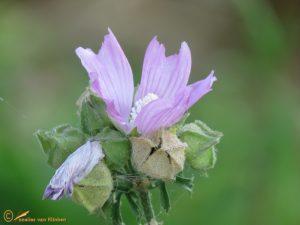 Malva sylvestris (cultivar