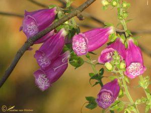 Vingerhoedskruid - Digitalis purpurea