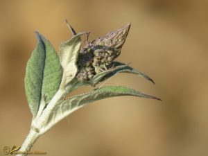 Vlinderstruik - Buddleja davidii