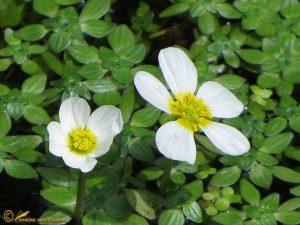 Waterranonkel spec. - Ranunculus sgen. Batrachium