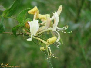 Wilde kamperfoelie - Lonicera periclymenum