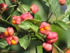 Wilde kardinaalsmuts – Euonymus eu ropaeus