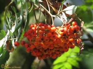 Wilde lijsterbes - Sorbus aucuparia