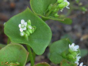 Winterpostelein - Claytonia perfoliata