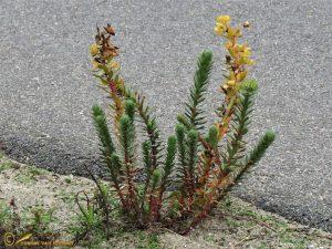 Zeewolfsmelk - Euphorbia paralias