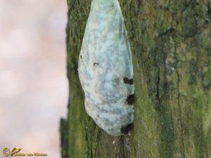 Zilveren boomkussen - Reticularia lycoperdon