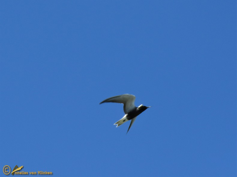 Zwarte Stern – Chlidonias niger