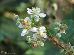 Zwarte braam - Rubus Sec. Rubus