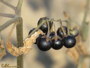 Zwarte nachtschade s.s. - Solanum nigrum subsp. nigrum (