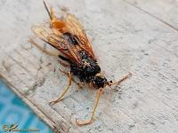 Houtwespen (Siricidae)