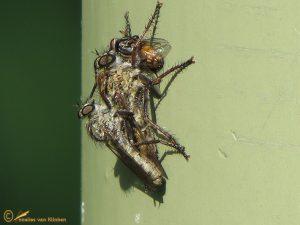 Gewone roofvlieg - Tolmerus atricapillus ♂️ ♀️
