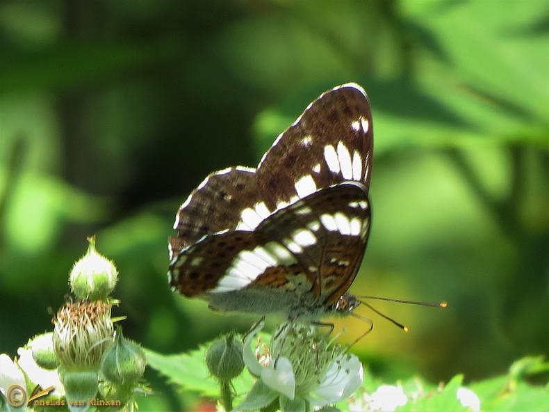 Kleine ijsvogelvlinder – Limenitis camilla