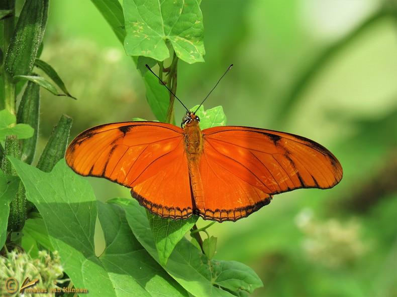Oranje Passiebloemvlnder