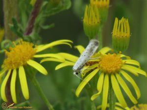 Stippelmot onbekend - Yponomeuta spec