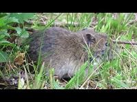Aardmuis – Microtus agrestis (F1)