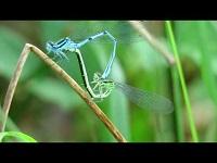 Azuurwaterjuffer – Coenagrion puella (F1)