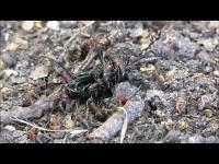 Behaarde Rode Bosmier – Formica rufa (F3)