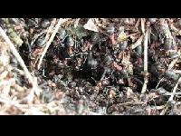 Behaarde rode bosmier - Formica rufa (F4)